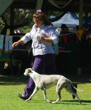 Laguna Whippet   Dog Forum   dogforum.co.uk
